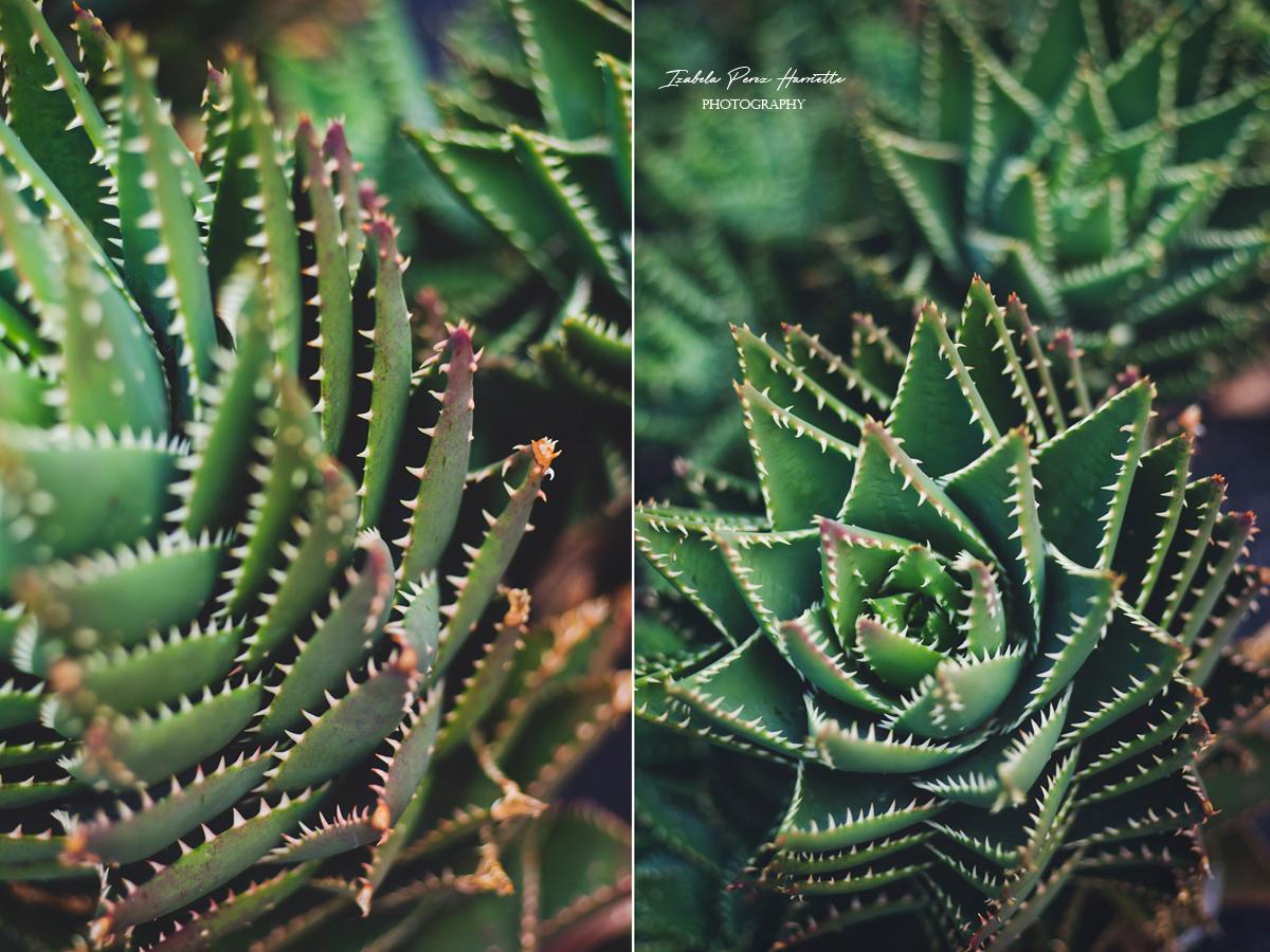 Fuerteventura all inclusive, cactus, succulent photogrpahy ,