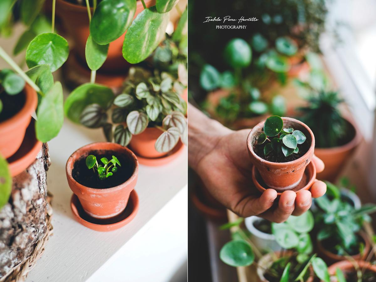 peperomia raindrops rozmnażanie, rośliny w domu, domowa uprawa, plant propagation, urbanjungle