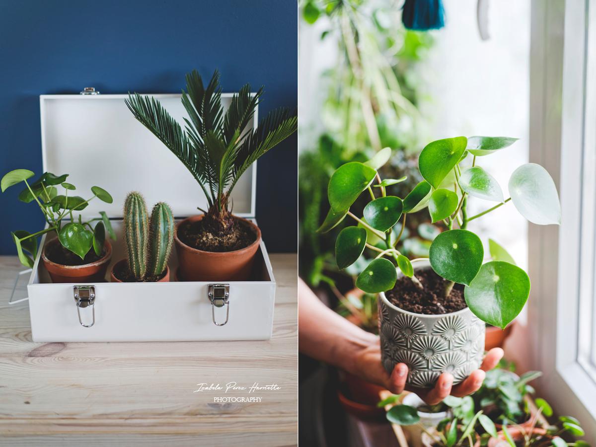 peperomia raindrops-rozmnażanie, rośliny w domu, domowa uprawa, plant propagation, urbanjungle