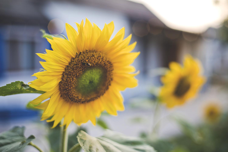 countryside, sunflower, wieś, drewniany dom,