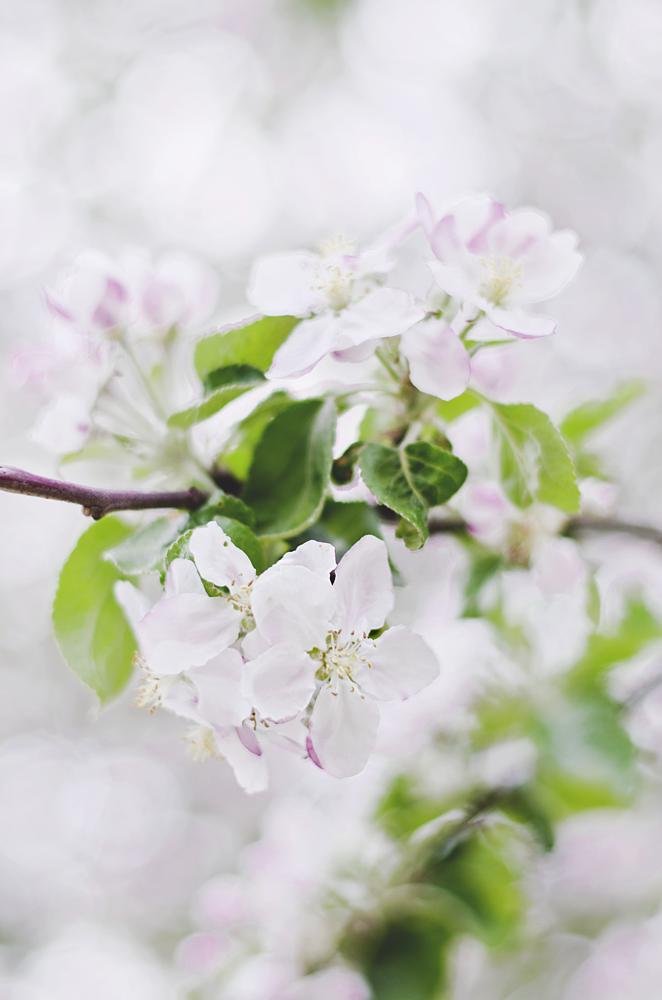 blooming trees, kwitnąca jabłoń, kwitnące drzewa owocowe
